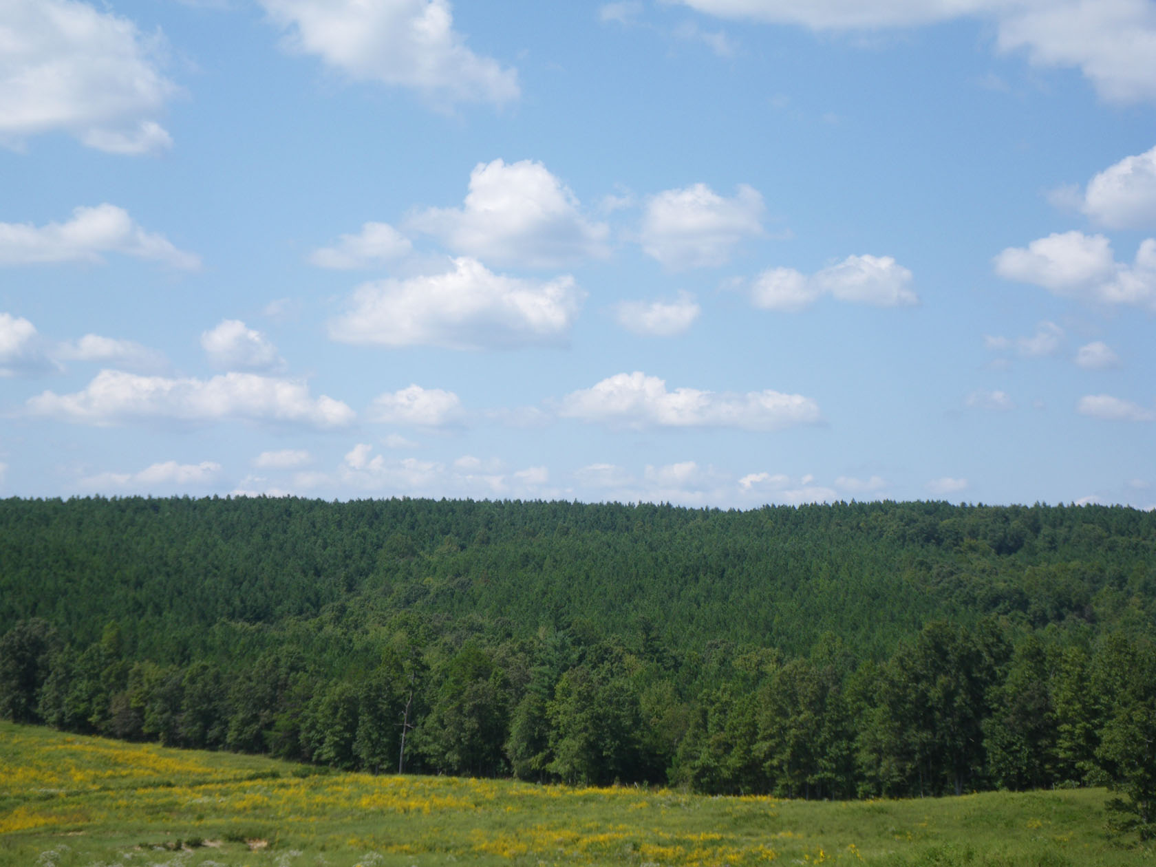Loblolly Pine Tennessee Pemberton Tract