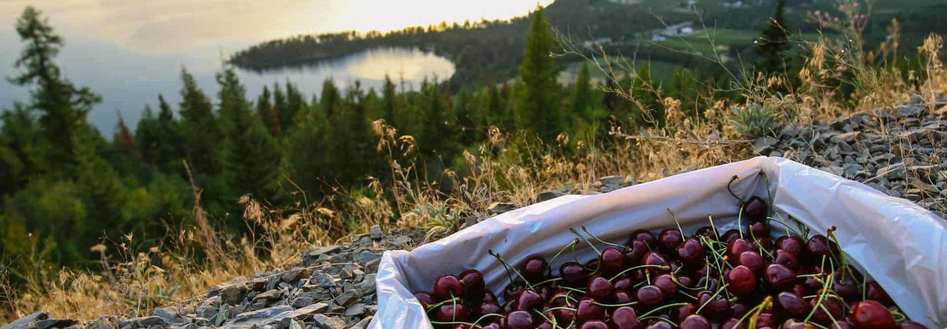 Cherries Over Lake Montana Glacier Fresh Cherry Orchard