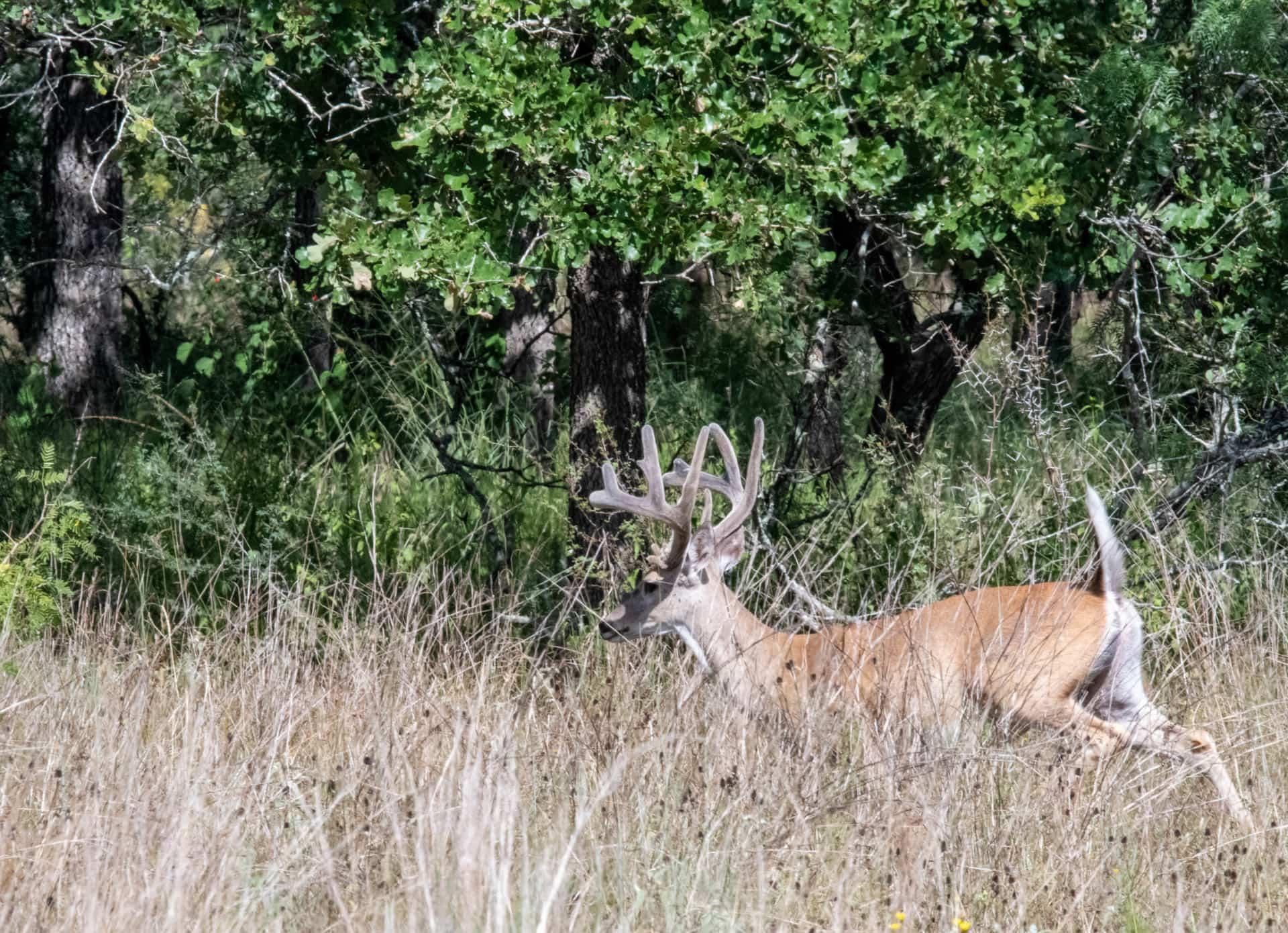 Closeup of Deer in trees Texas-Shouse-Goliad-Ranch
