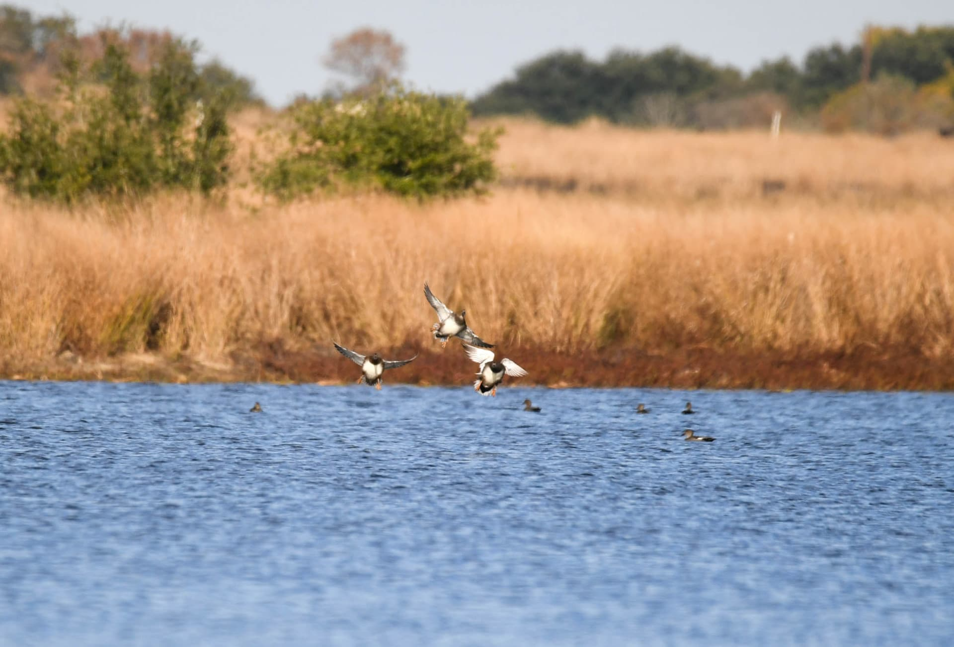 birds in water texas lakes of gibbons creek