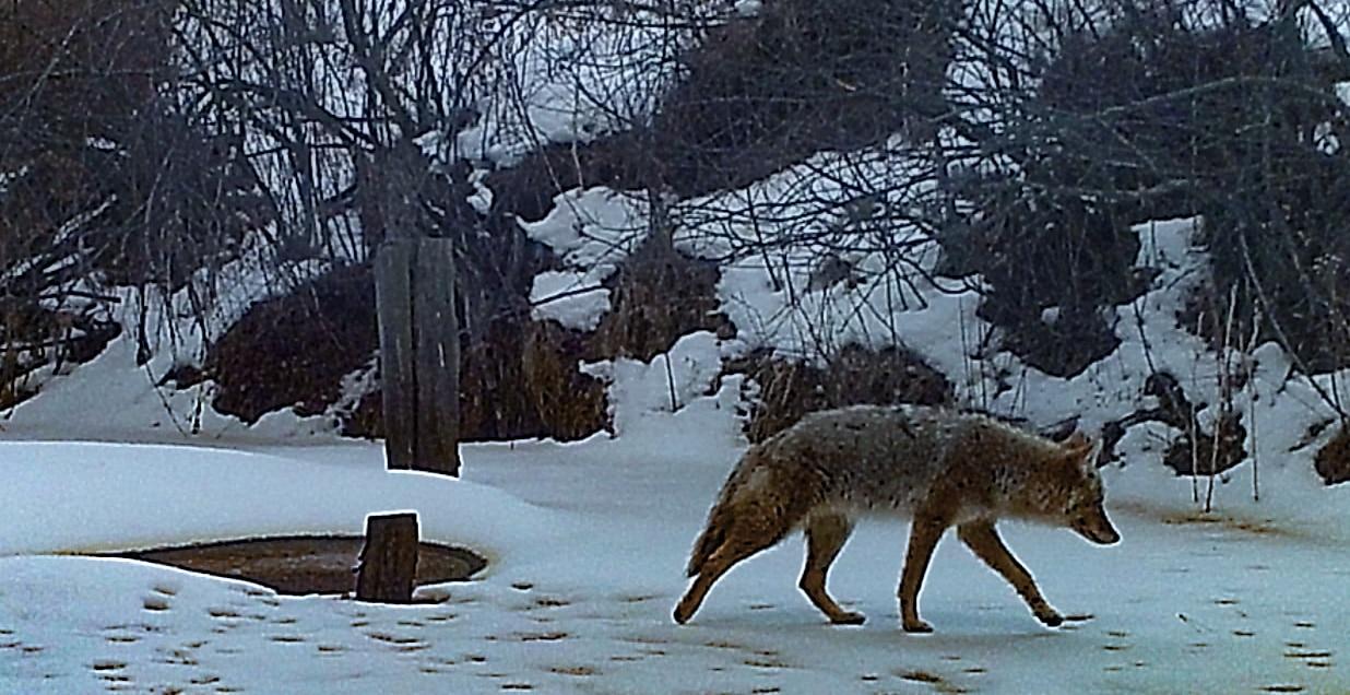 wolf wyoming high divide ranch on kara creek